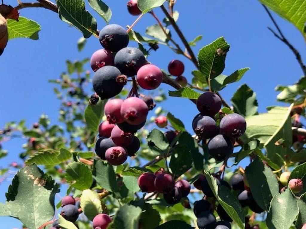 saskatoon berry bush