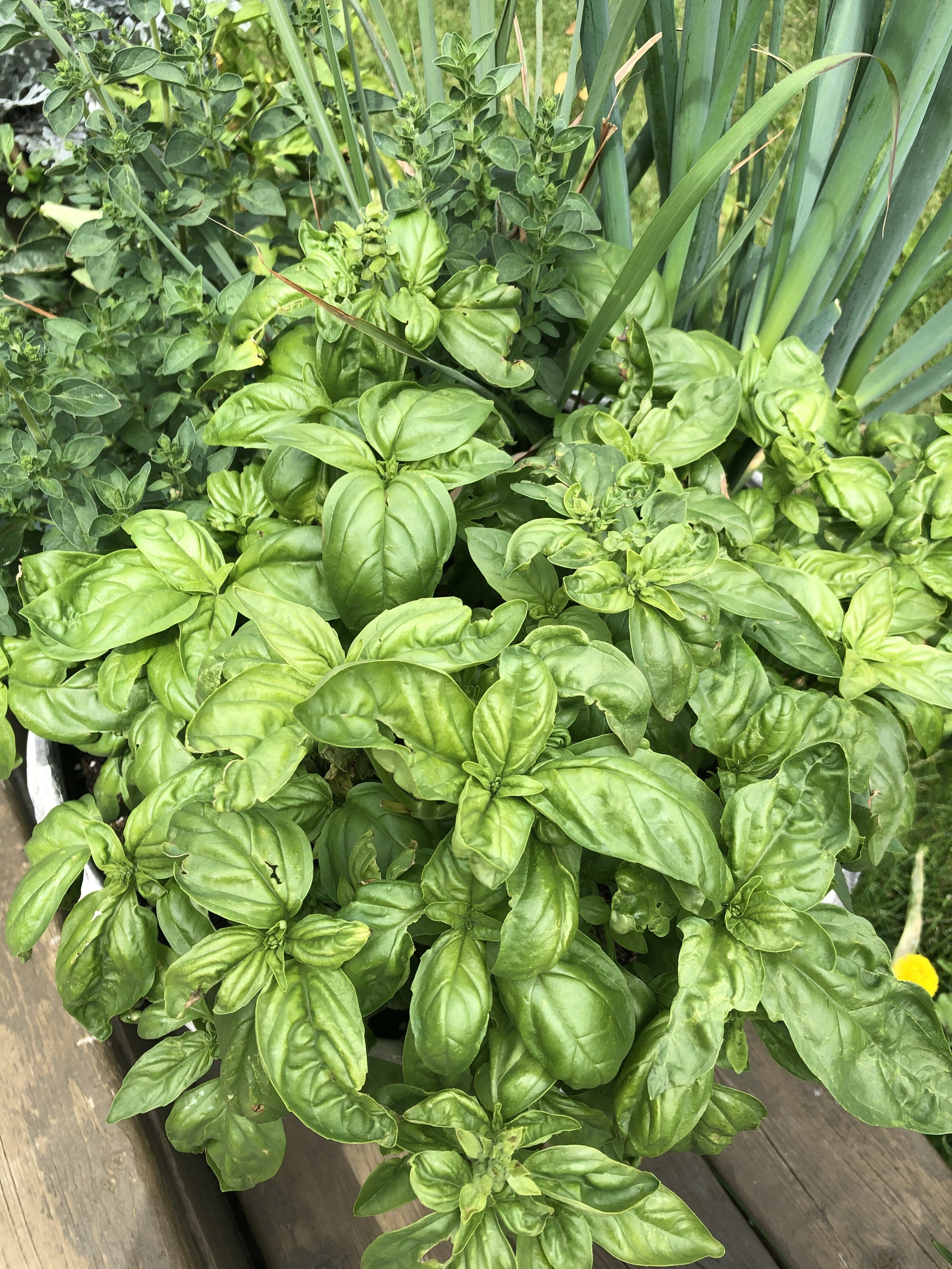 fresh basil in a pot with other herbs